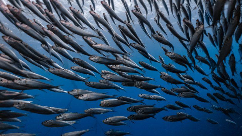 dieta del pesce azzurro
